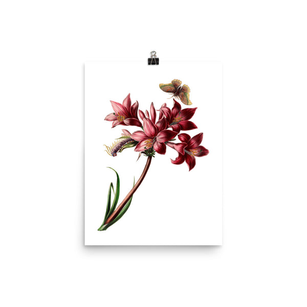 Pink Rain Lily (Zephyranthes carinata) Botanical Illustration Poster