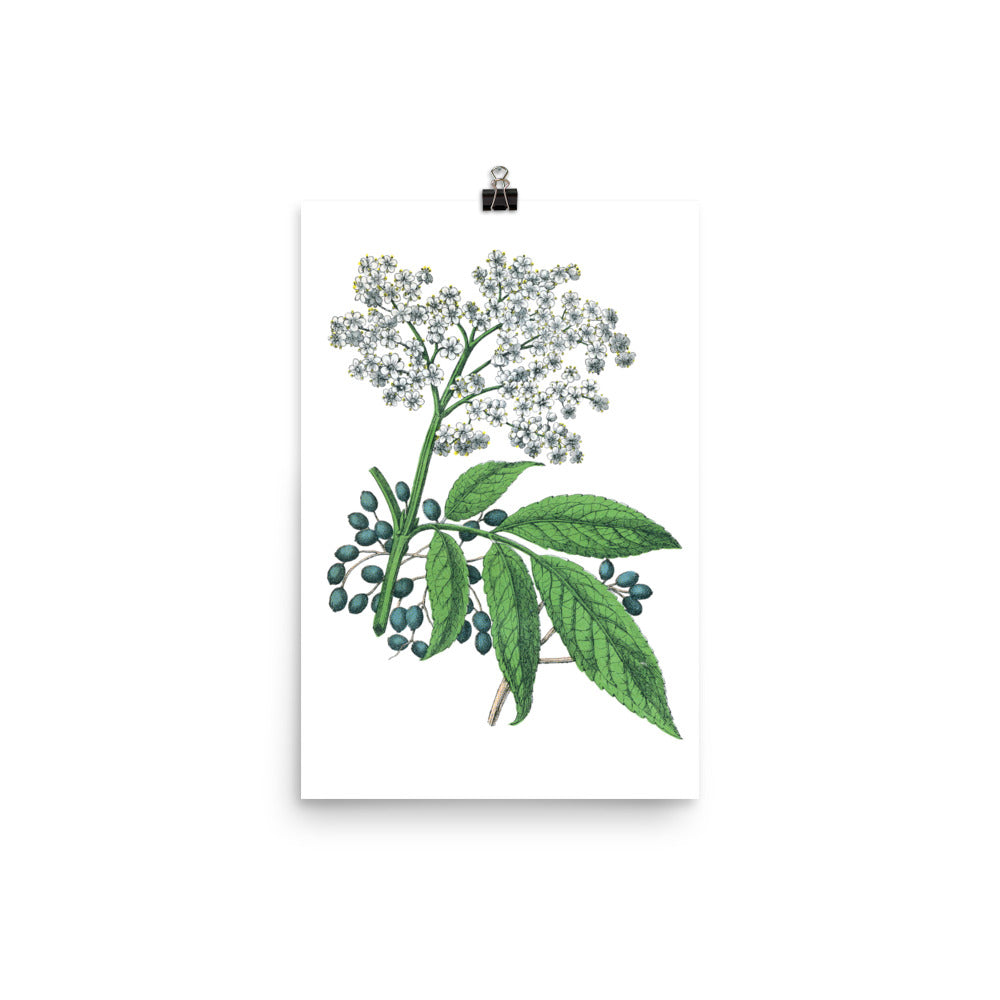 Elderberry (Sambucus nigra) Botanical Illustration Poster