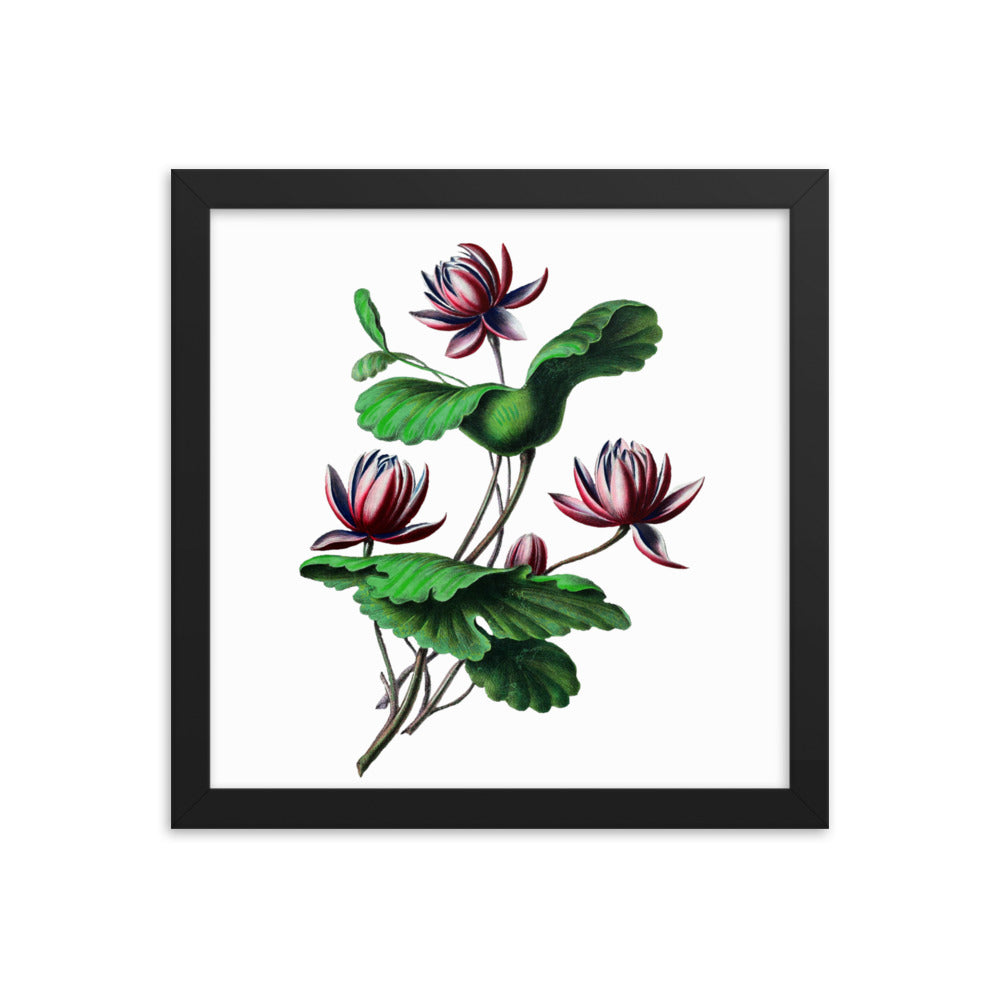 Indian Lotus | Nelumbo Nucifera | Botanical Illustration | Framed Poster
