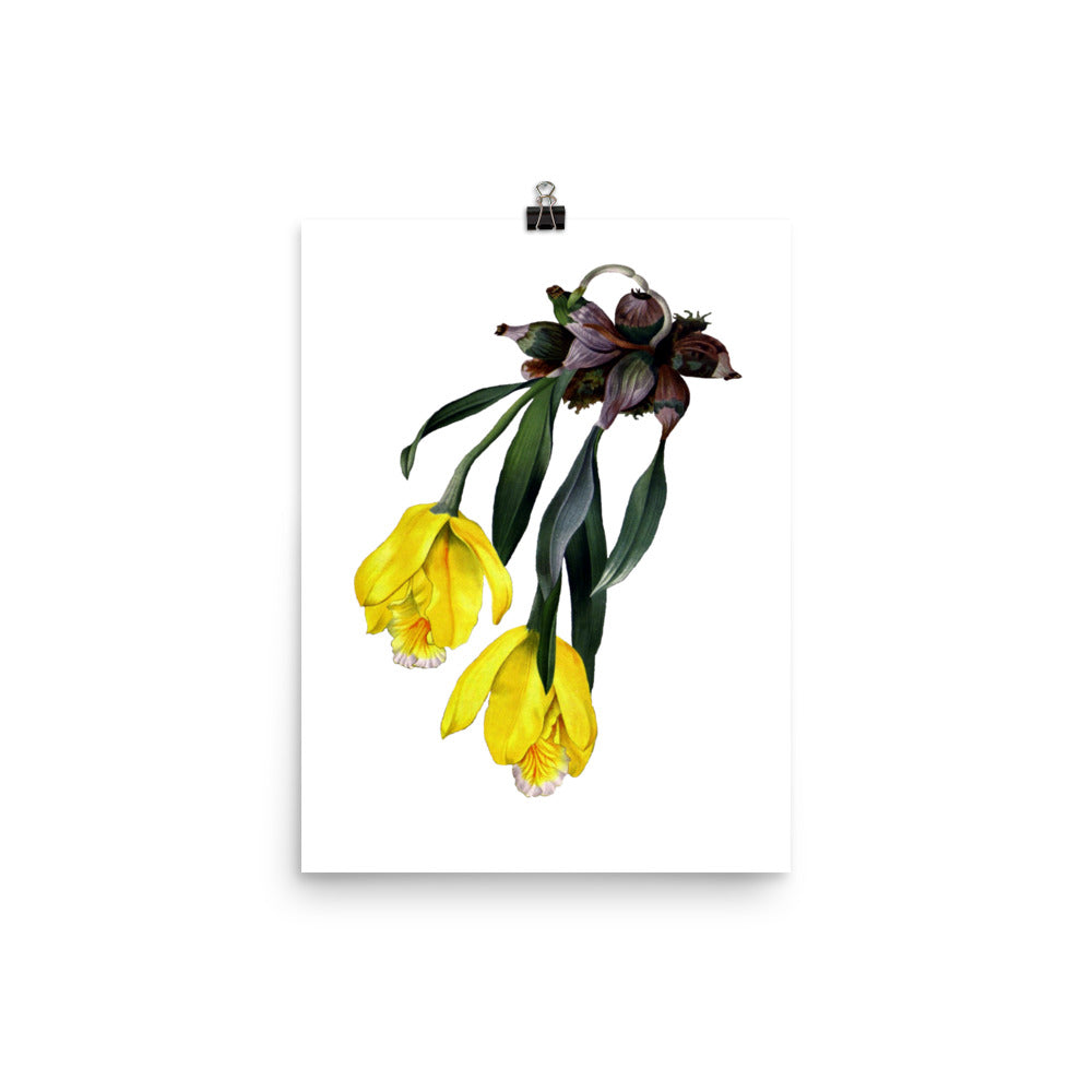 Tulip Orchid | Encyclia Citrina | Botanical Illustration | Poster