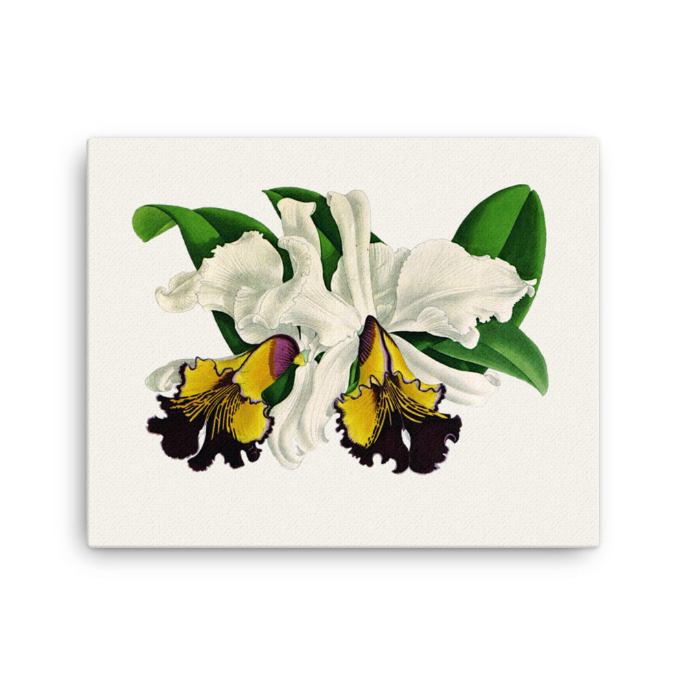 Dow's Cattleya  (Cattleya Dowiana)  Botanical Illustration Canvas Print