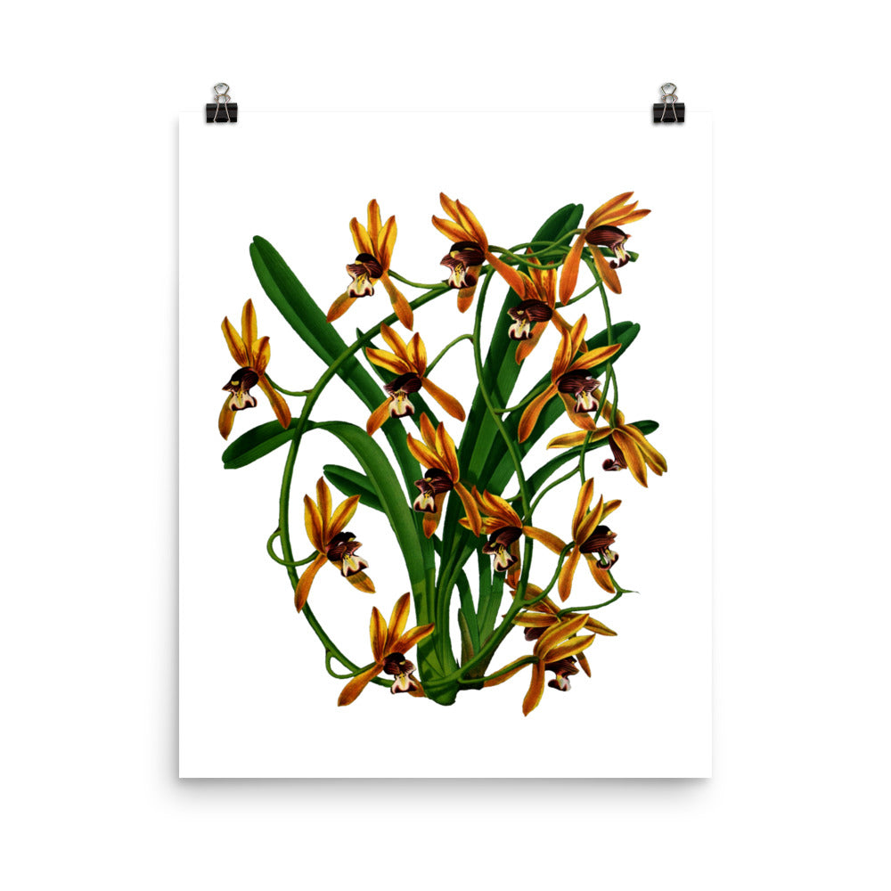 Aloe-Leafed Cymbidium (Cymbidium aloifolium) Botanical Illustration Poster