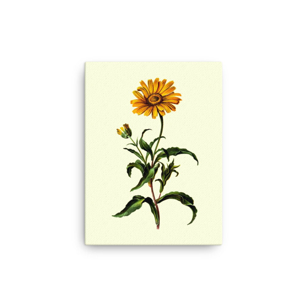 Ox-Eye (Buphthalmum Salicifolium) Botanical Illustration Canvas Print