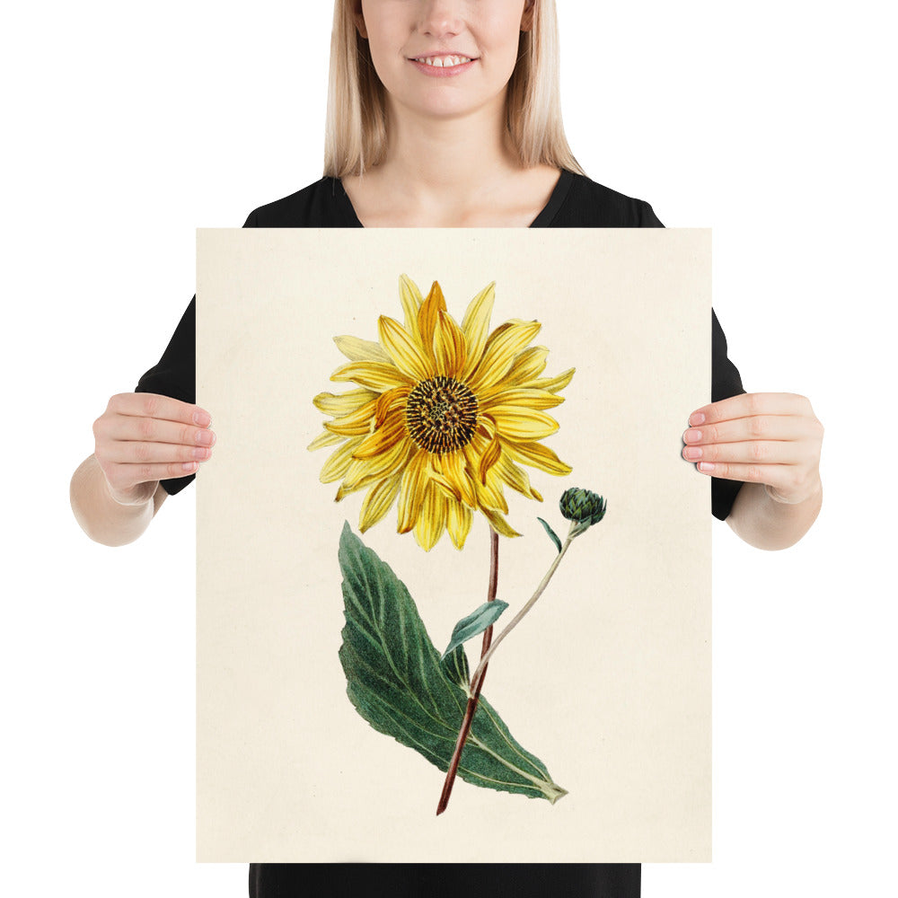 Sunflower Print Poster - Vintage Botanical Prints