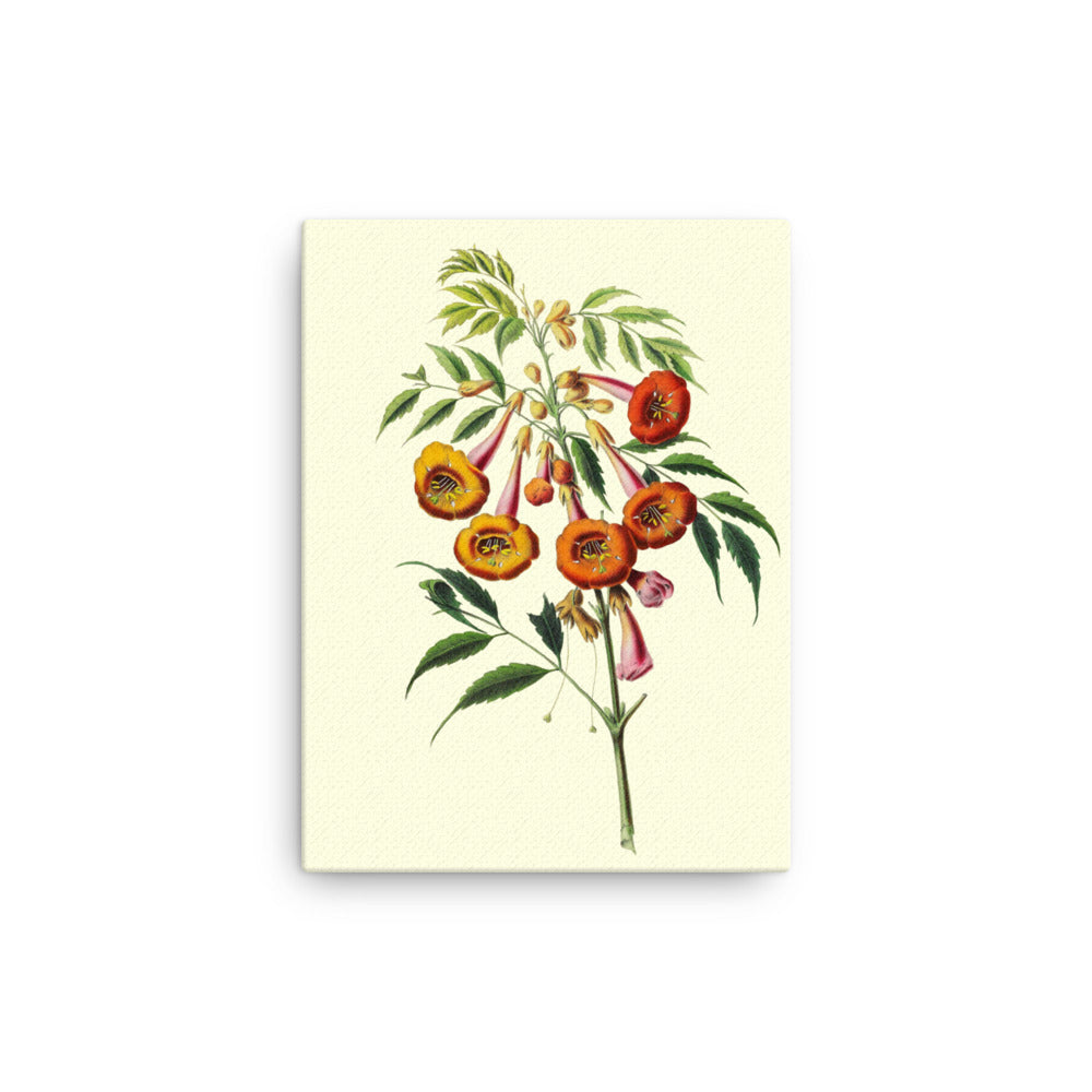 trumpet-vine campsis radicans Botanical Illustration Canvas