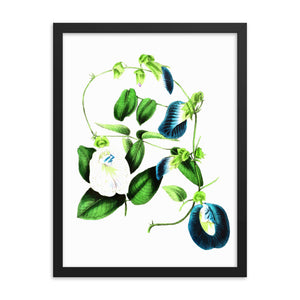 Butterfly Pea (Clitoria ternatea) Botanical Illustration Framed poster