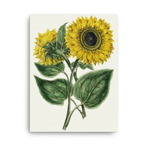 Common Sunflower (Helianthus annuus) Botanical illustration Canvas Print