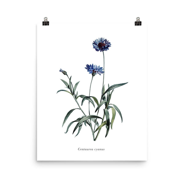 Cornflower (Centaurea Cyanus) Botanical Illustration Poster
