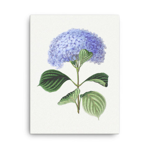 Bigleaf Hydrangea (Hydrangea Macrophylla) Botanical Illustration Canvas
