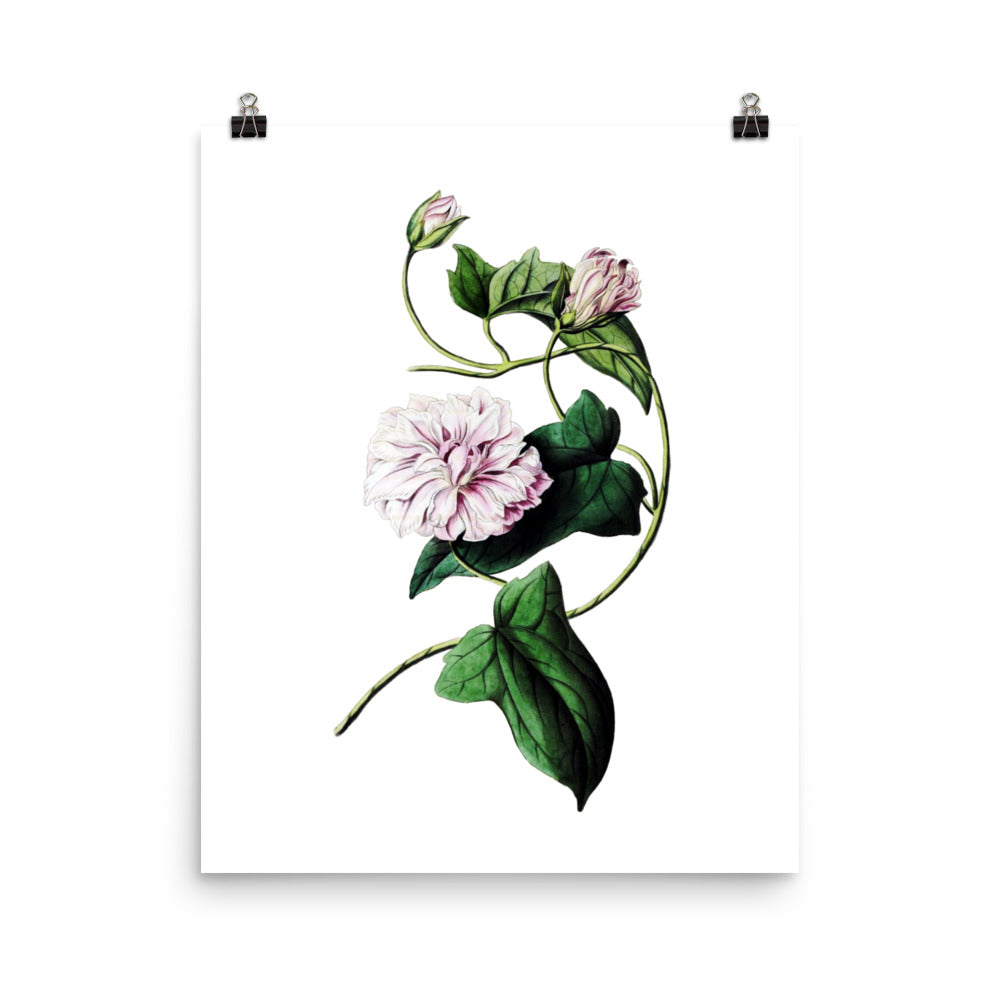 Japanese Bindweed (Calystegia pubescens) Botanical Illustration Poster