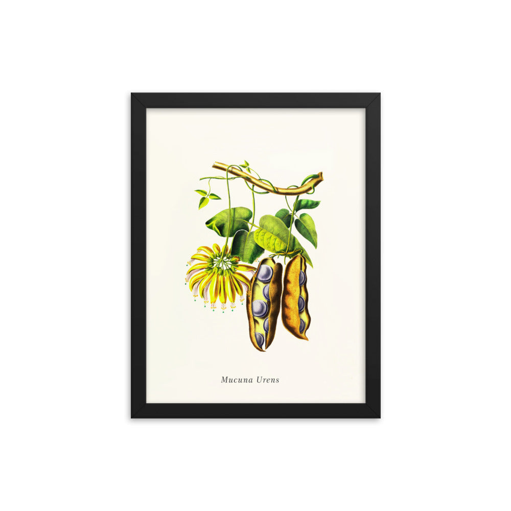 Mucuna Diplax | Botanical Illustration | Framed Poster