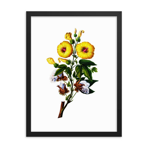 Sea Island Cotton | Gossypium Barbadense | Botanical Illustration | Framed Poster