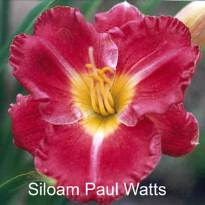 "Siloam Paul Watts 20"" (2 Fan) Bare Root Hemerocallis Daylilie"