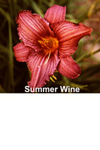 "Summer Wine Daylily 24"" (2 Fan) Bare Root Hemerocallis Daylilie"