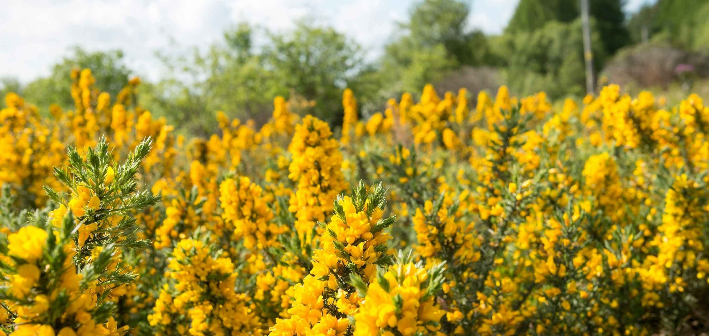 Image of yellow gorse in a field