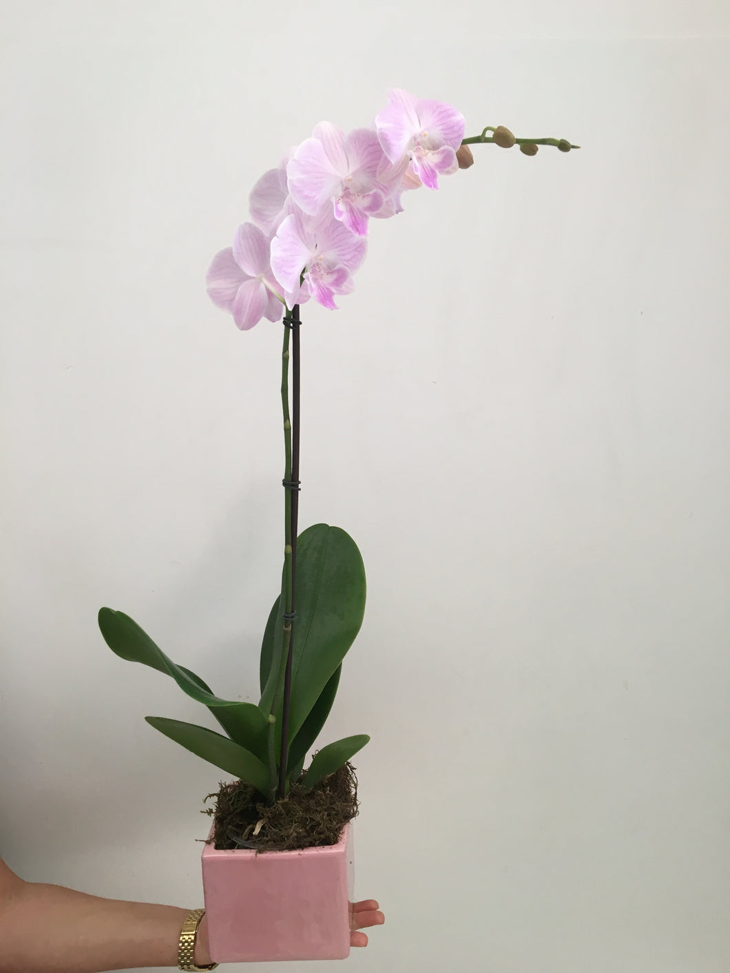 LAYLA ORCHID PLANT