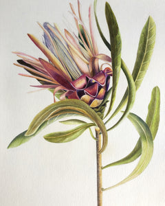 Coloured Protea