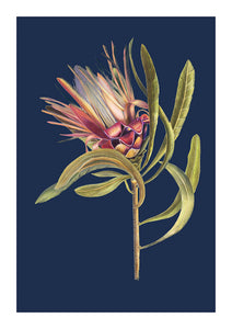 Protea in Blue Limited Edition Print