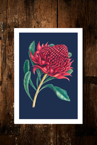 Red Waratah with blue Limited Edition Print
