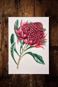 Red Waratah Original Drawing