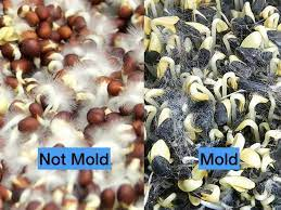 signs of mold on sprouts