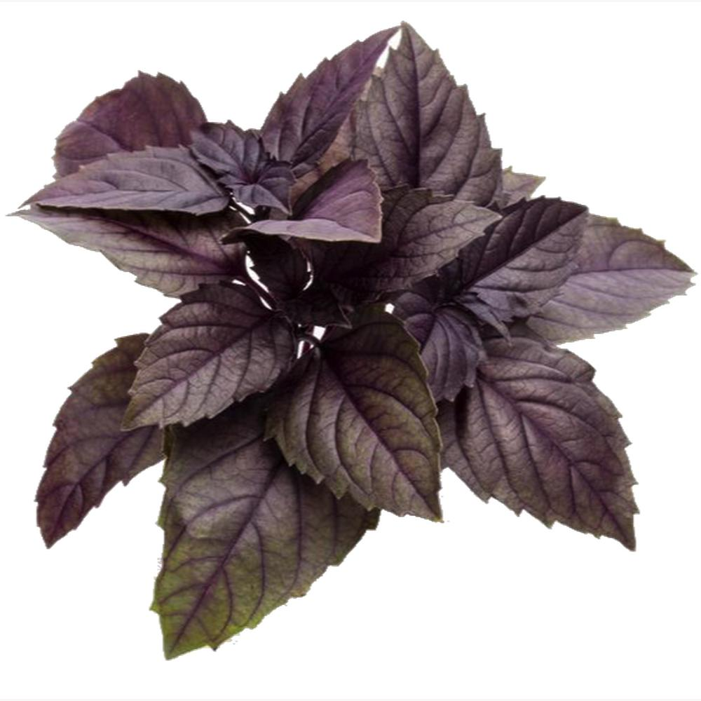 "Basil ""Dark Opal"" - Seeds-Seeds-Urban Plant Growers-"