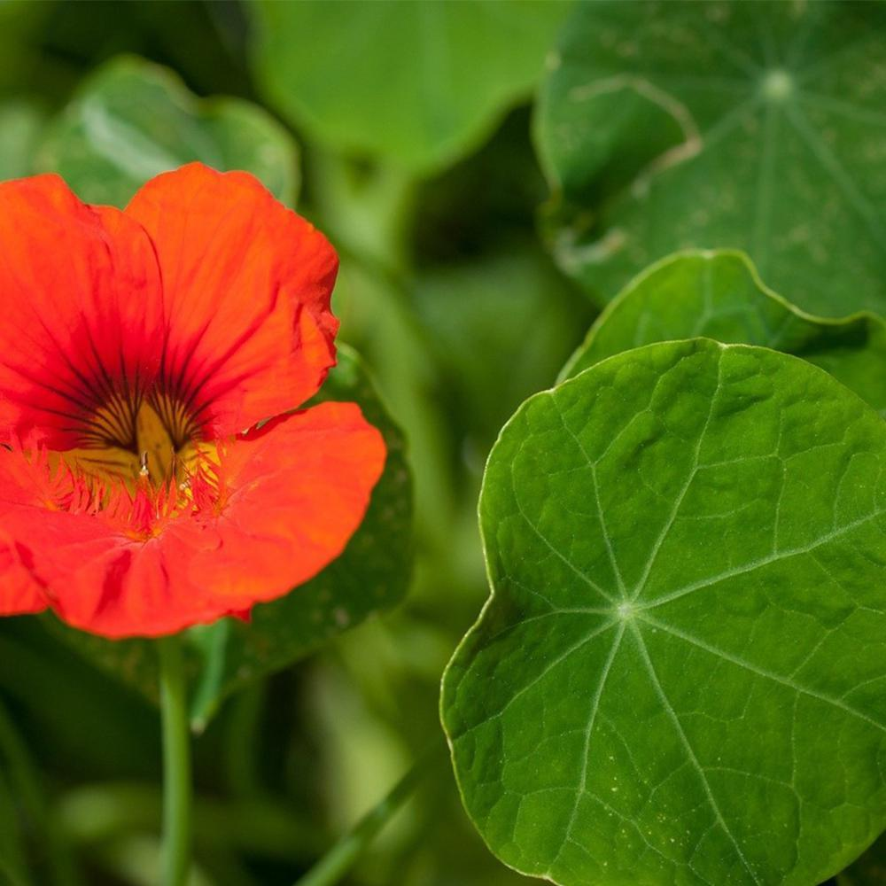 Nasturtium Seeds-Urban Plant Growers-