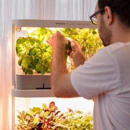 Man harvesting herbs from vertical hydroponic herb garden