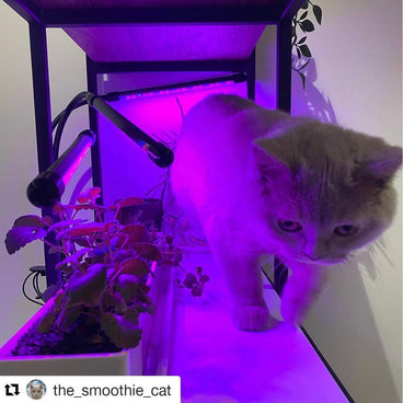 @the_smoothie_cat repost Purple hydroponic grow lights on shelf cat walking past