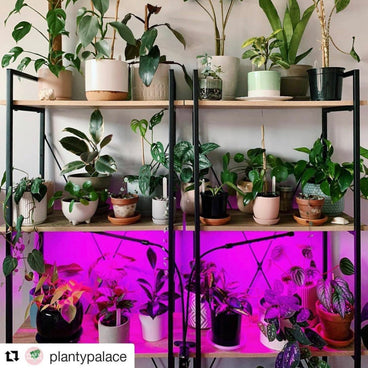 @plantypalace repost purple hydroponic grow lights growing pot plants on book shelf