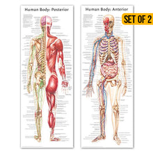 Load image into Gallery viewer, Human Body Poster