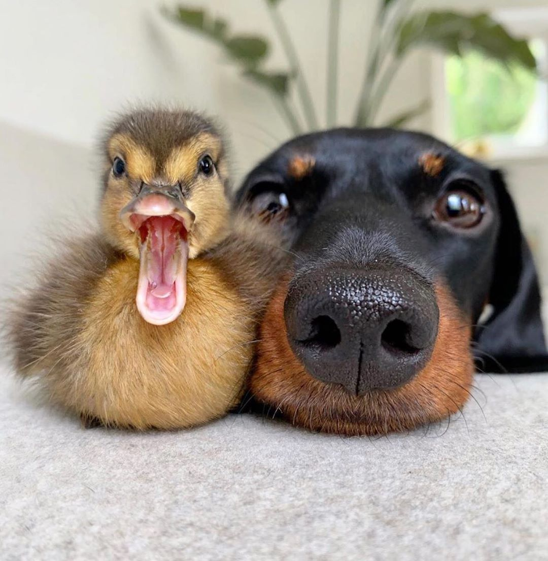 lou lou mini dachshund duck duckling double boop