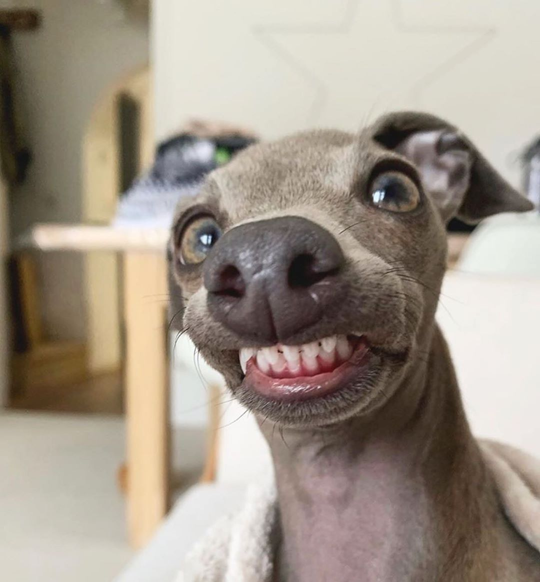 iggy coco italian greyhound derp funny face boop