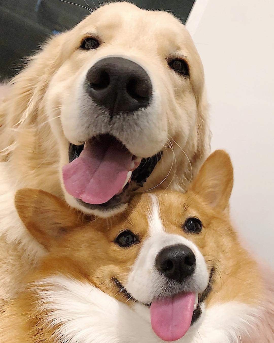 maui ruby golden retriever corgi boopy tower