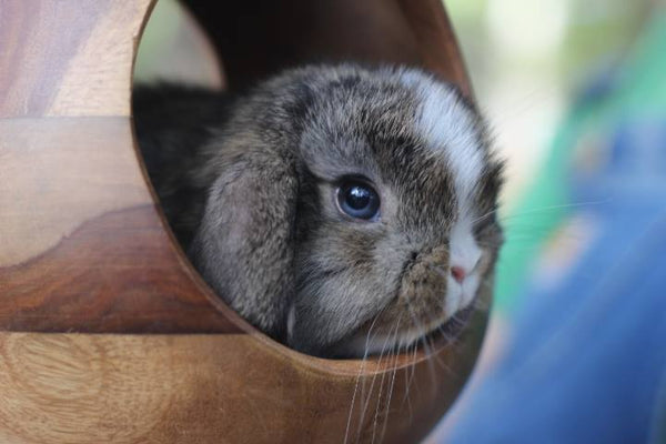 holland lop nj, mini lop nj, bunny nj, holland lop, pet bunny, pet mini lop