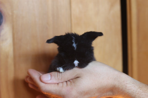 holland lops nj, mini lops nj, pet bunnies nj, rabbits nj
