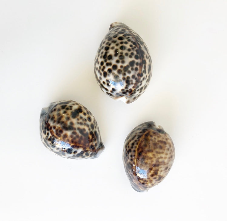 Shell - Cowrie