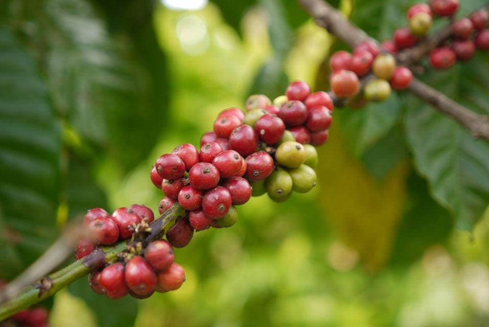How we select our coffee beans - Blog - coffee fruit while still on the tree