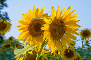 Countdown to Summer - Sunflower