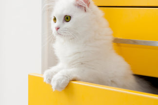 image for Getting to Know Your Persian Cat