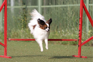 image for Petnet Exercise Tips: Exercising Your Small Dog