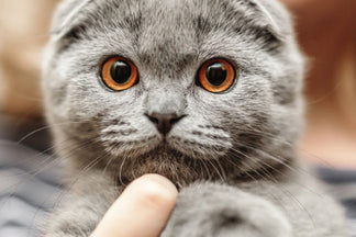 image for Getting to Know Your Scottish Fold Cat