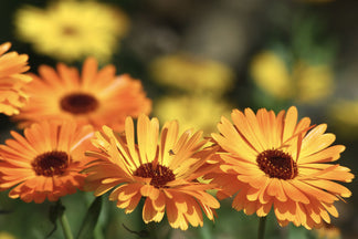 image Healthy Ingredients for Your Pet: Marigolds