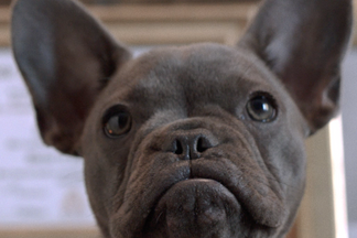 image for This is Dom: The Un-simple French Bulldog