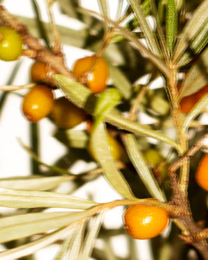 Sea buckthorn the small but mighty berry