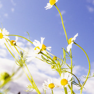 Stay Calm with chamomile