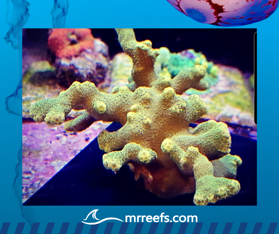 Acro - Colony - Yellow Porites Coral