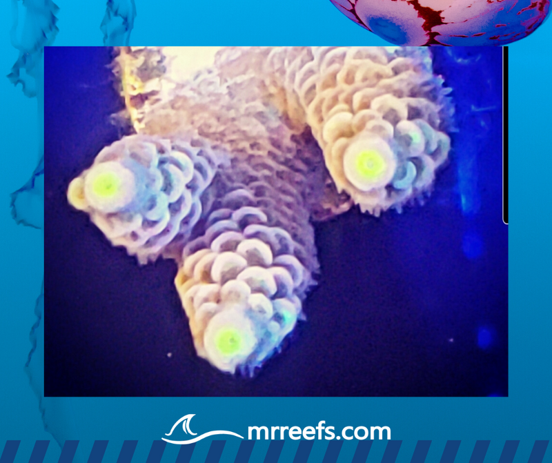 MR Reefs Signature Beacon of Hope _ Acropora Tenuis