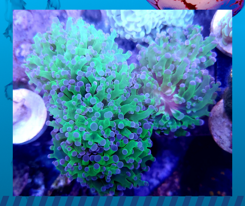 Frogspawn- Purple Tip / 4 head