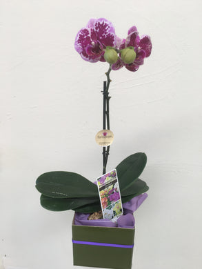 flowering orchid INCLUDING DELIVERY